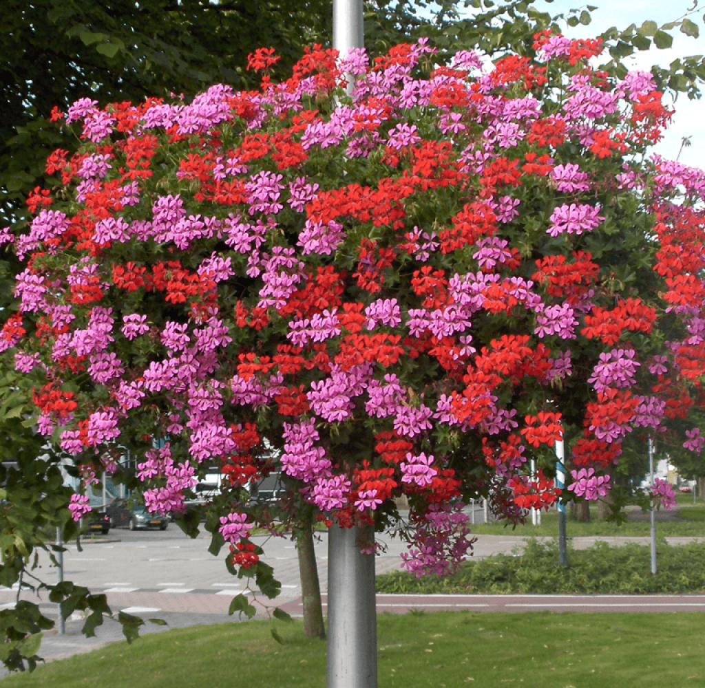hangbak geranium mix