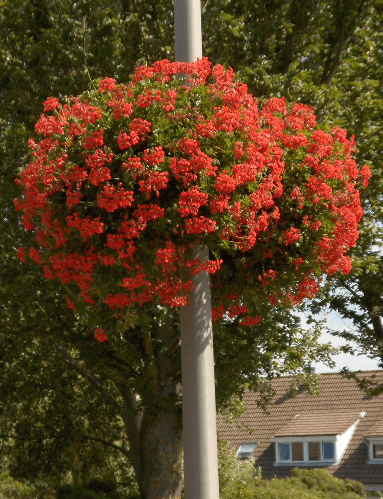 hangbak rood