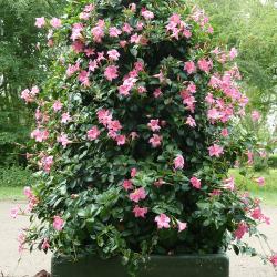 mandevile rose